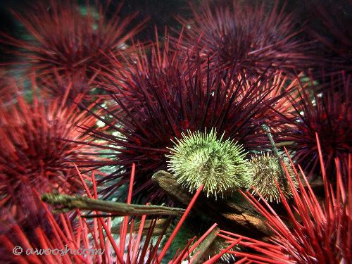 Urchin Field