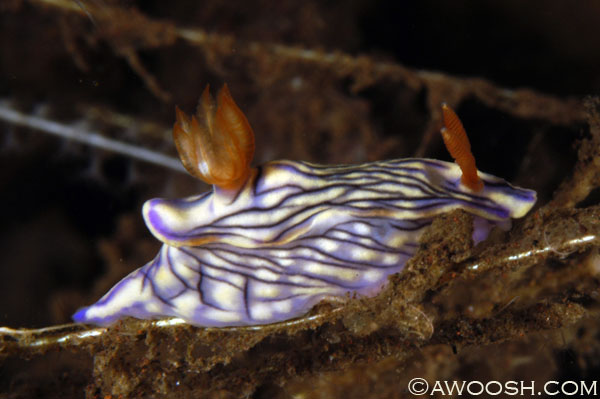 Hypselodoris nigrostriata Nudibranch