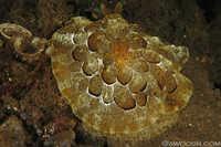 Pleurobranchus forskalii