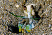 Catalina Mantis Shrimp