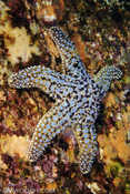 Rock Sea Star
