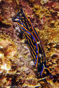 Nanvanax - a type of sea slug