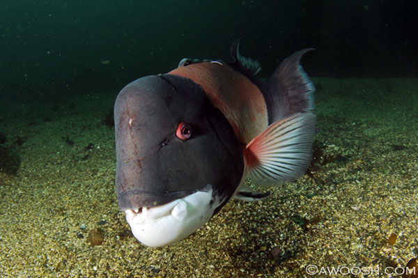 Bucky, a big male sheephead