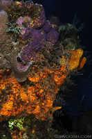 Assorted Encrusting Sponges