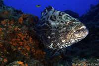 Goliath Grouper - Ephinphelus itajara