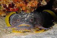Splendid Toadfish - Sanopus splendidus