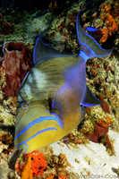 Queen Triggerfish - Balistes vetula