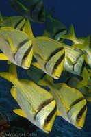 Schooling Porkfish -  Anistotremus virginicus