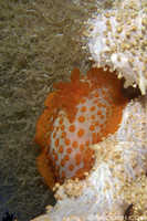 Unknown Nudibranch