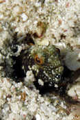 Cayman Sailfin Blenny