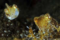 Pair of Crinoid Cuttlefish