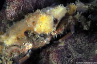 Sponge Decorator Crab