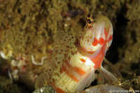 Unidentified Shrimp Goby