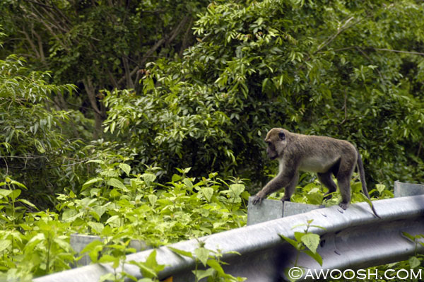 Roadside Monkey on Sumbawa