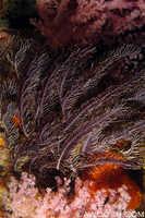 Crinoid & Soft Corals