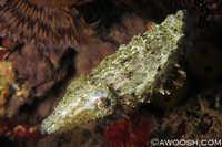 Crinoid Cuttlefish