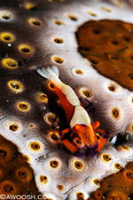 Highlight for Album: Lembeh, Indonesia - March 2010