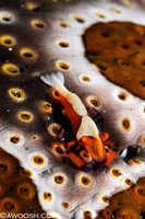 Emporer Shrimp