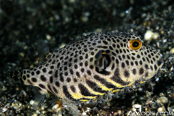 Juvenile to Intermediate Star Pufferfish