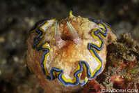 Glossodoris cincta 2