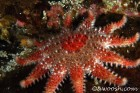 Rose Sea Star