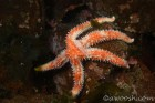 Sea Star 