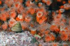 Top snail and orange cup corals