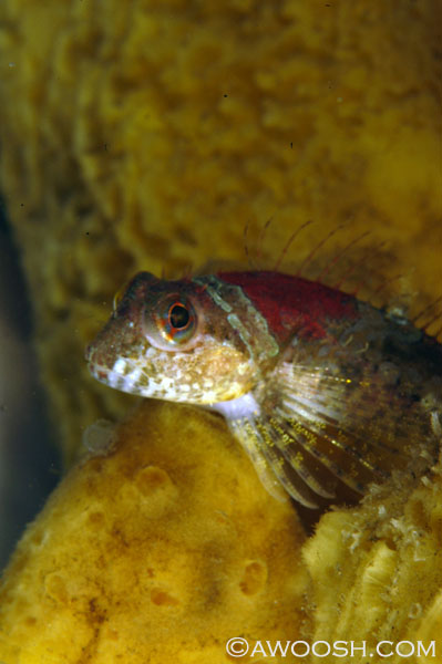 Scalyhead Sculpin in Sponge