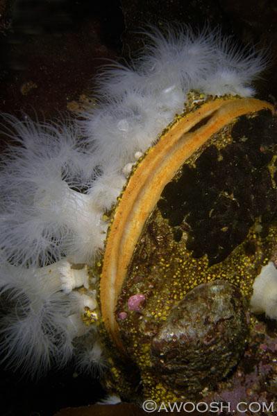 Sea Scallop & Decorations