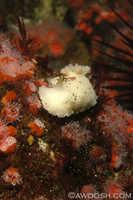 Archidoris montereyensis 12