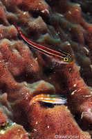Leetle Fish