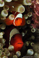 Mr and Mrs Spinecheek Anemonefish