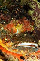 Tassled Scorpionfish