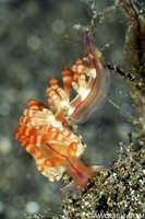 Flabellina rubrolineolata Nudibranch