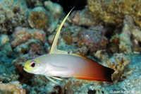 Fire Dartfish - Nemateleotris magnifica