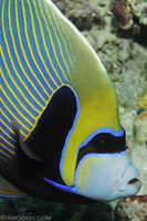 Emporer Angelfish - Pomacanthus imperator