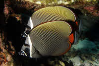 Pair of Collare Butterflyfish