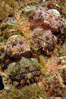 Pair of Tassled Scorpionfish - Scorpaenopsis oxycephala