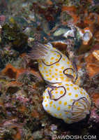 Chromodoris annulata 2 - mating behaviour