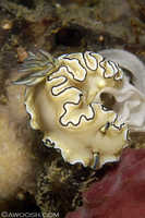Glossodoris atromarginata - egg laying