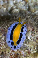 Unidentified Nudibranch