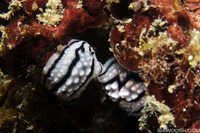 Mating Pair of Phyllida Nudibranchs
