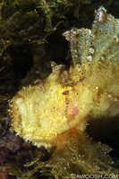 Leaf Scorpionfish 2