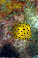 Juvenile Yellow Spotted Boxfish