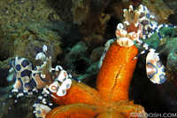 Harlequin Shrimp on Sea Star