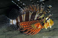 Lionfish at Night