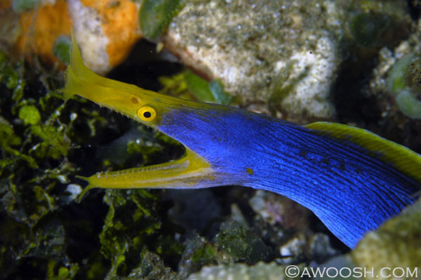 Blue Ribbon Eel (male)